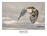 Snowy Owl-119