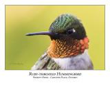 Ruby-throated Hummingbird-001