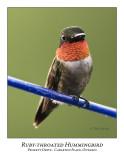Ruby-throated Hummingbird-002