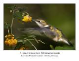 Ruby-throated Hummingbird-006