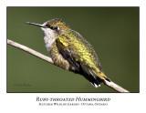 Ruby-throated Hummingbird-008