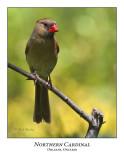 Northern Cardinal-008