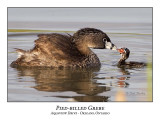 Loons / Grebes