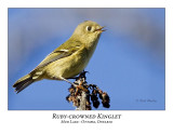 Ruby-crowned Kinglets