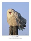 Snowy Owl-032