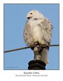 Snowy Owl-033