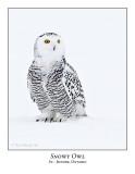 Snowy Owl-038