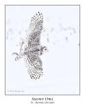 Snowy Owl-039