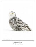 Snowy Owl-043