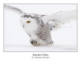 Snowy Owl-041