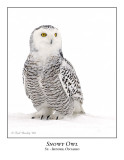Snowy Owl-044