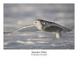 Snowy Owl-046