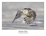 Snowy Owl-047