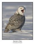 Snowy Owl-049