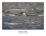 Snowy Owl-050