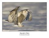 Snowy Owl-051