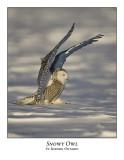 Snowy Owl-052