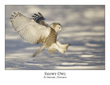 Snowy Owl-053