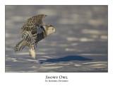 Snowy Owl-054