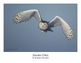 Snowy Owl-055