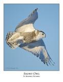 Snowy Owl-056