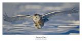 Snowy Owl-057