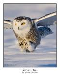 Snowy Owl-058