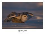 Snowy Owl-059