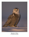 Snowy Owl-060