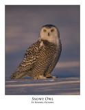 Snowy Owl-061
