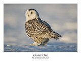 Snowy Owl-063