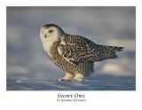 Snowy Owl-064