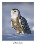 Snowy Owl-065