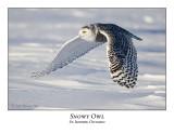 Snowy Owl-066