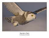 Snowy Owl-067