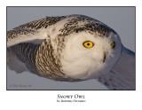 Snowy Owl-068