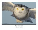 Snowy Owl-069