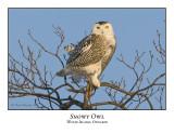 Snowy Owl-070