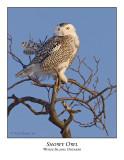 Snowy Owl-071