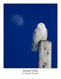Snowy Owl-073