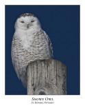 Snowy Owl-075