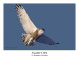 Snowy Owl-076