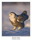 Snowy Owl-077