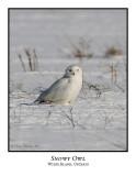 Snowy Owl-078