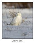 Snowy Owl-079