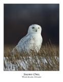Snowy Owl-080