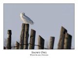 Snowy Owl-081