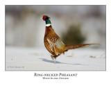 Ring-necked Pheasants