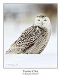 Snowy Owl-083