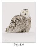 Snowy Owl-084